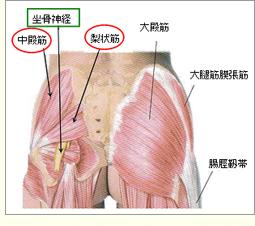 でん部筋と坐骨神経