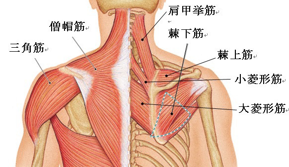 肩こりに関連する主な筋肉