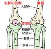 膝の骨格表裏